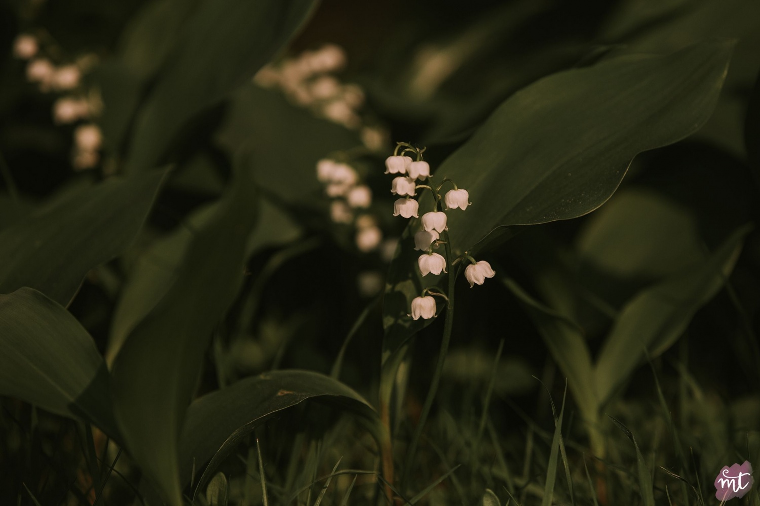 Seasons, Summer, Natural Light, UK Photographer, Real Life, Mother Nature, Lily of the Valley